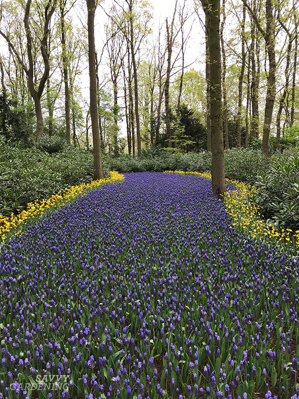 A meadow of muscari at the Keukenhof gardens