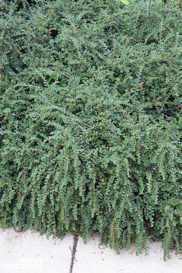 Cotoneaster shrubs can be used as groundcovers that are green all year long.