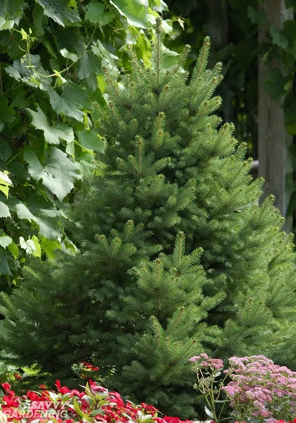Small-statured evergreen trees: 15 choices