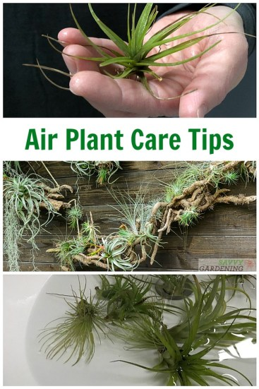 Air Plant Care: Tending, Watering, and Fertilizing Tillandsia. #indoorgardening #airplants