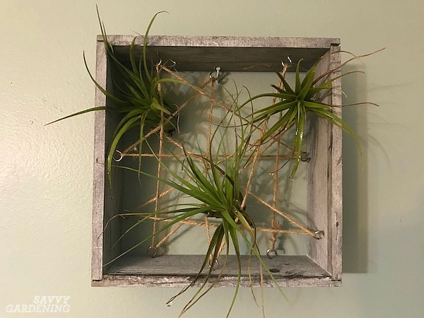 Caring for air plants in the home