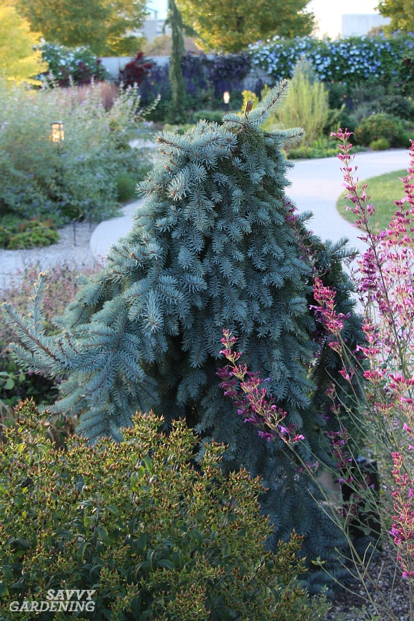 'The Blues' weeping spruce is an excellent dwarf evergreen tree for the garden.