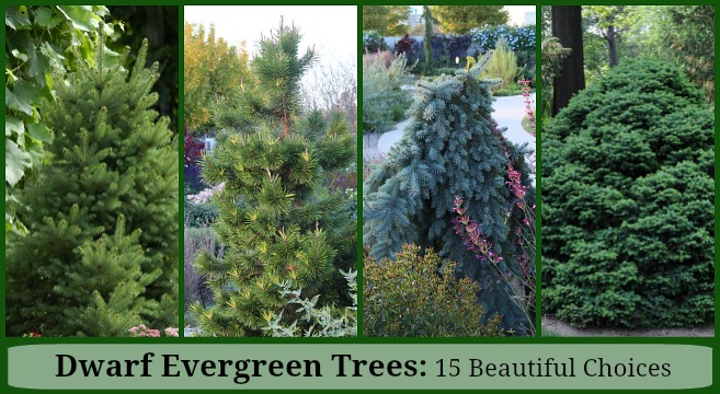 Dwarf Evergreen Trees 15 Exceptional Choices For The Yard And Garden