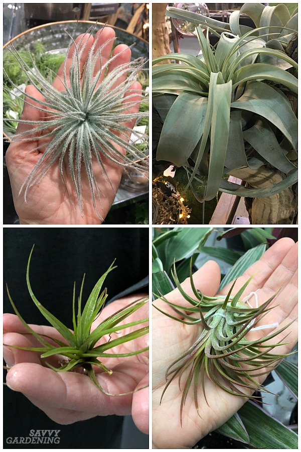 FREE Care Guide 7 Air Plant Variety Pack