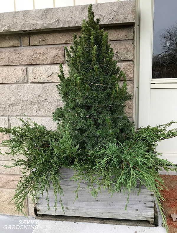 decorate a potted spruce for the holidays