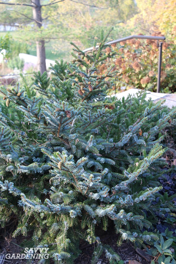 Compact varieties of evergreens