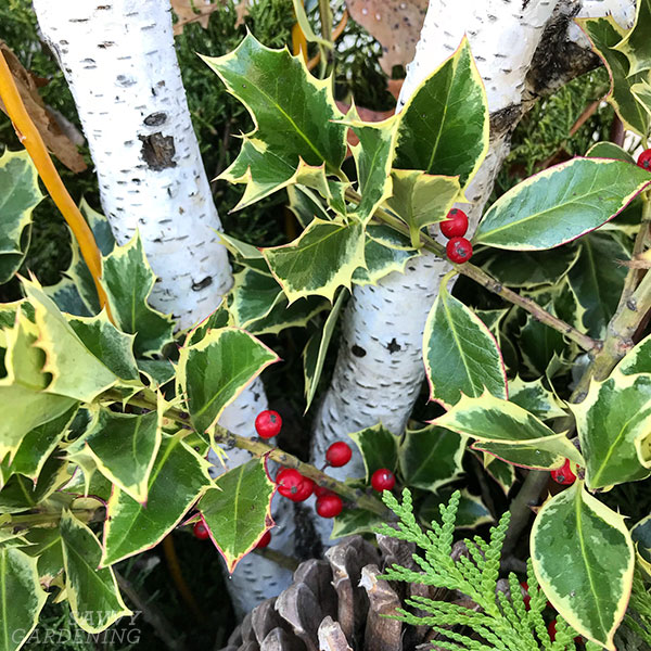 variegated holly in an outdoor winter arrangement