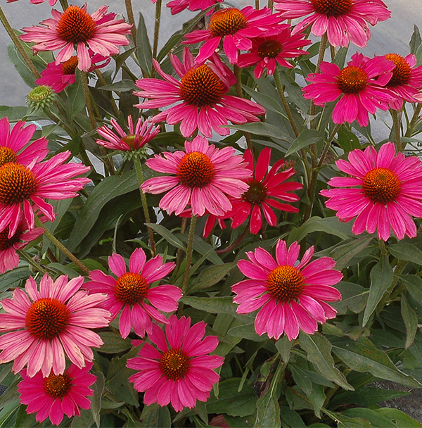 KISMET Raspberry Echinacea is a hot new perennial for 2019