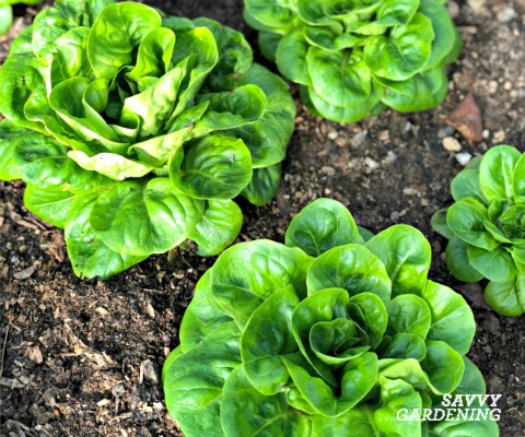 Grow lettuce all winter long in cold frames, greenhouses, and polytunnels.