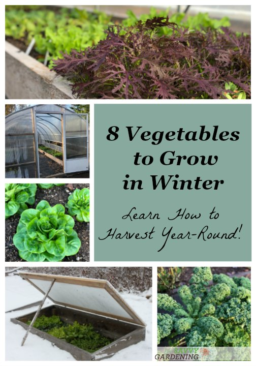 Growing winter vegetables is easier than you think! Try these eight cold season superstars in your winter vegetable garden.