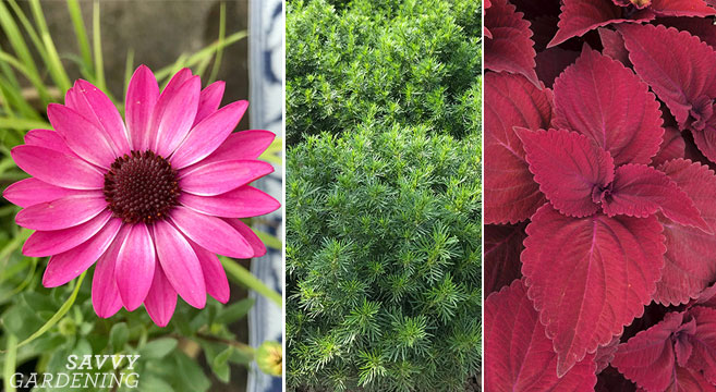 New plants for 2020 gardens (annuals and perennials)