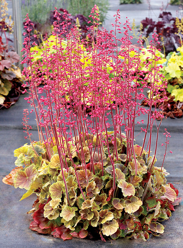 Heuchera NORTHERN EXPOSURE™ Sienna features stunning foliage, making it a must-have new plant for 2020.