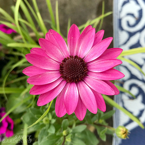 Osteospermum Bright Lights Berry Rose is a new favourite of mine and a hot new plant for 2020 gardens