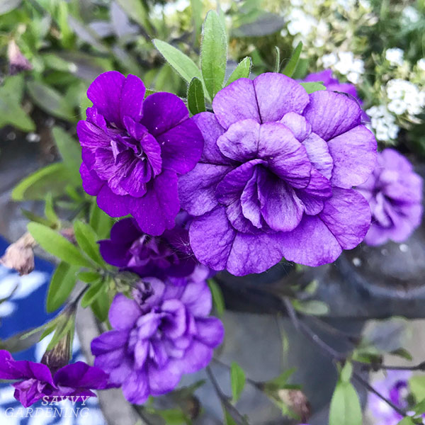 Superbells Double Blue is more of a purple hue with ruffled petals.