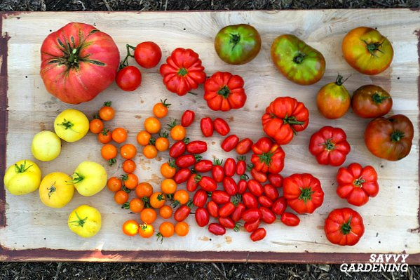 Growing tomatoes from seed allows you to grow a rainbow of colors, flavors, and sizes.