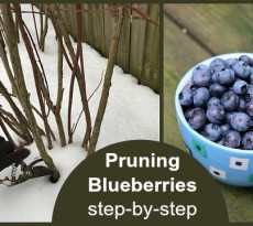 Winter pruning of blueberry bushes.