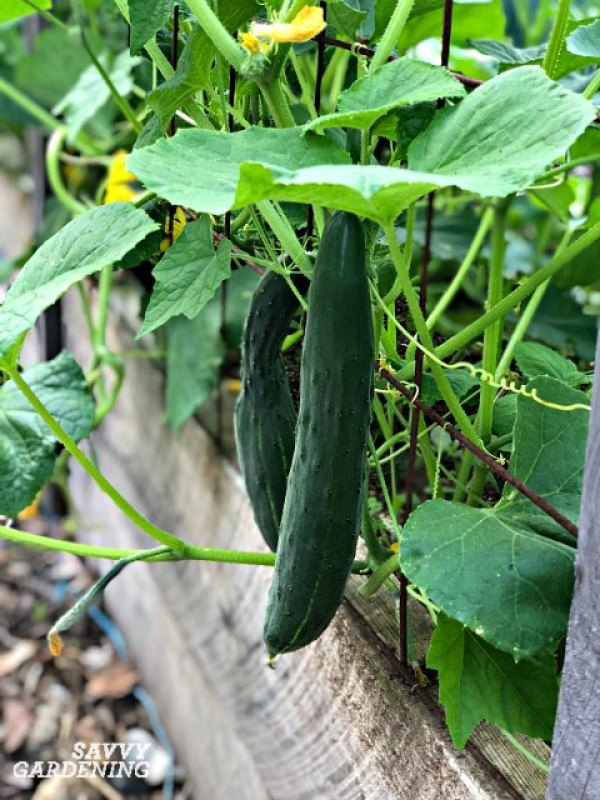 Cucumbers are easy to easy to grow in garden beds and containers.