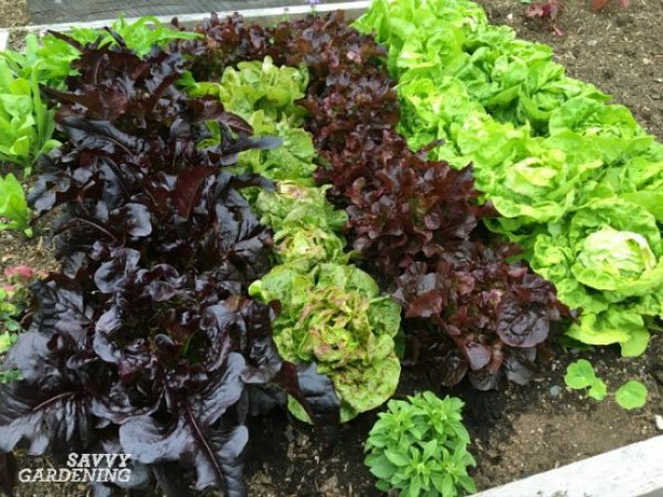 Lettuce is essential spring green in garden beds and containers.