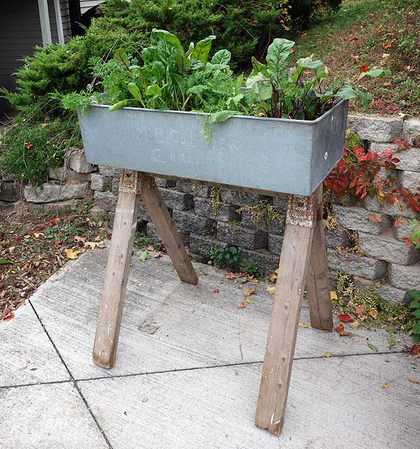 An old washbasin is used as a raised bed for edibles