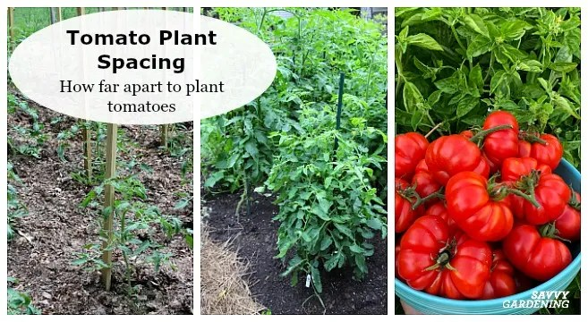 The right tomato spacing means healthier and more productive tomato plants.