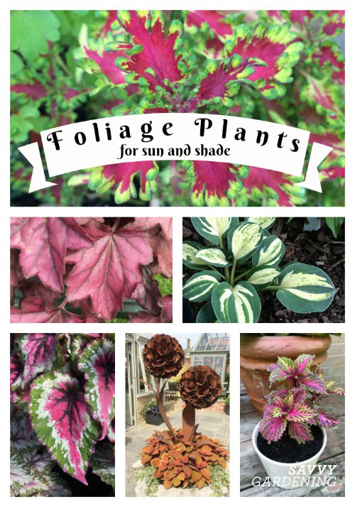 Foliage plants can be just as important as flowers in the garden. Discover varieties that are superstars and others that complement surrounding plants.