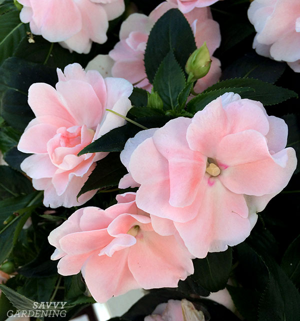 This annual for full shade is 'Wild Romance Blush Pink' New Guinea impatiens