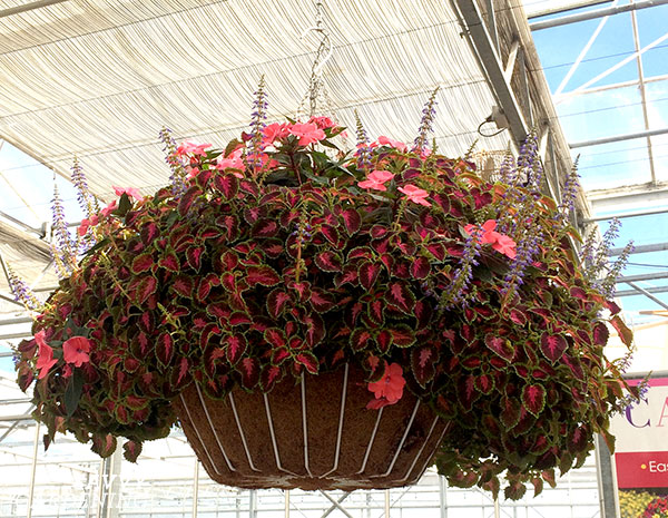 Coleus PartyTime Pink Berry is a gorgeous foliage plant for containers and hanging baskets.