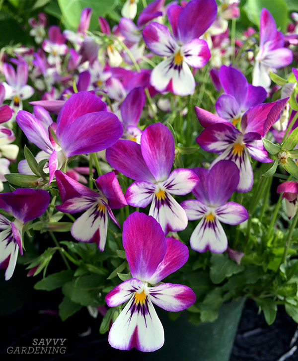 When choosing annual flowers for shade, don't forget about spring bloomers, like Viola 'Bunny Ears'