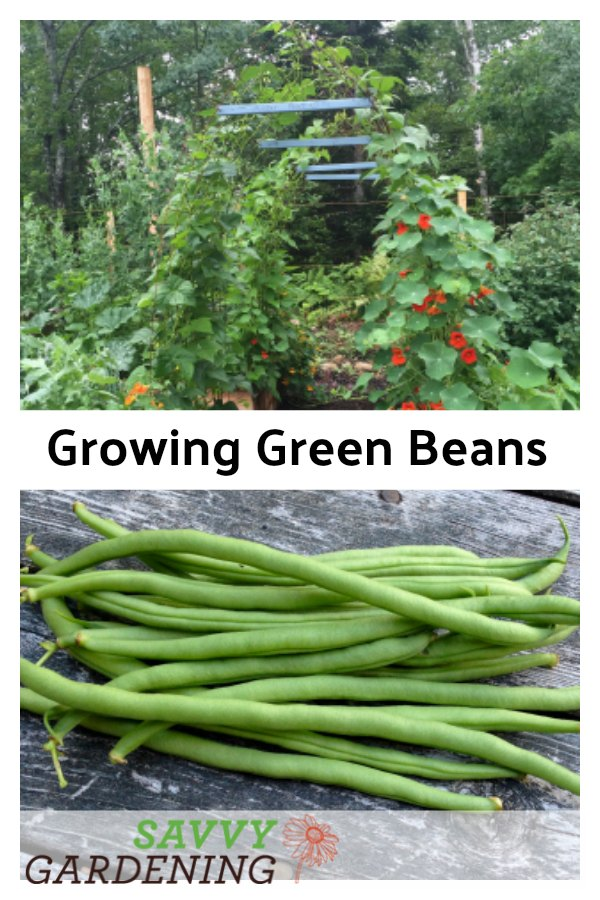 Learn how to plant, grow, and harvest green beans