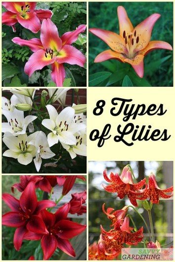 8 Beautiful Types of Lilies for Summer Blooms #gardening #floweringbulbs