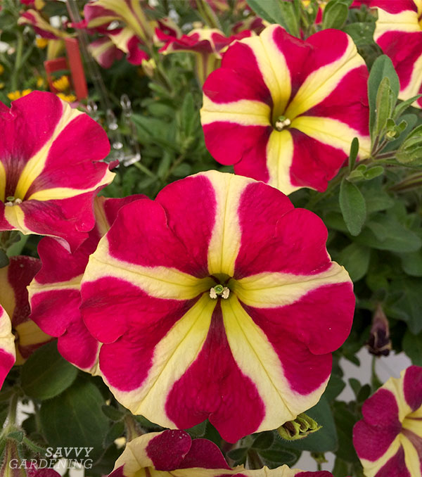 """AMORE Queen of Hearts would make a great """"thriller"""" in a full-sun container"""