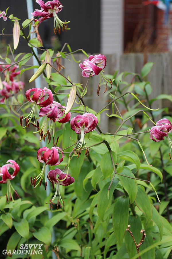 Grow Turk's cap lilies for a burst of summer color.