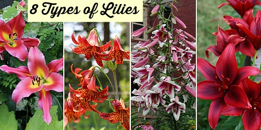 Types Of Lilies 8 Beautiful Cold Hardy Choices For The Garden