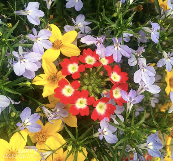 A mauve, red, and yellow combination of container plants for full sun.