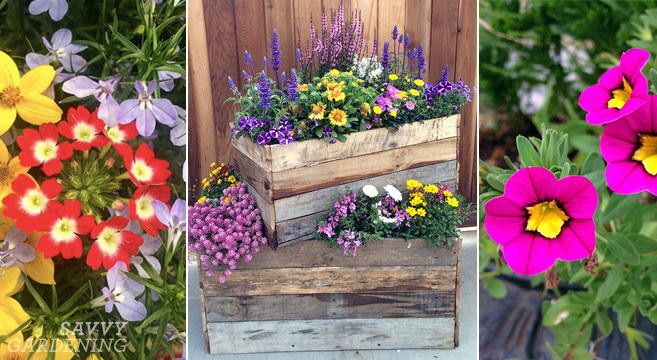 Container plants for full sun Thrillers fillers and spillers for summer pots & Container Plants for Full Sun: Choices for Colour Foliage and Texture