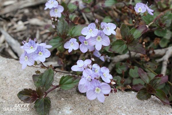 Tall, medium height, and short purple flowered plants.