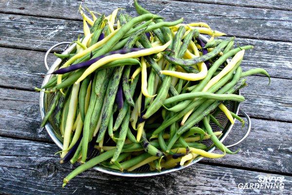 Snap and pole beans are easy to grow in gardens and containers.