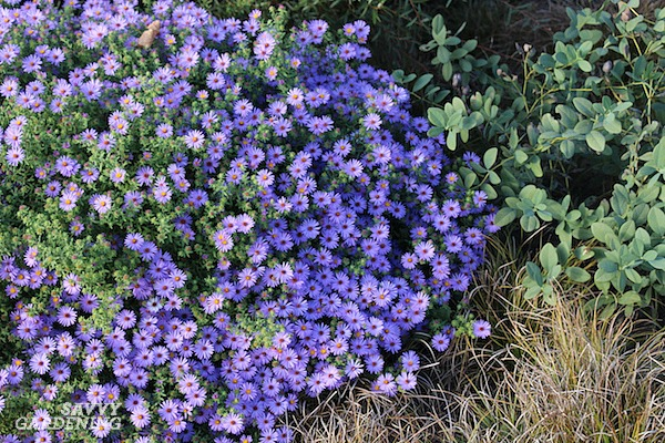 Asters are among the most beautiful late-blooming perennials with purple flowers.