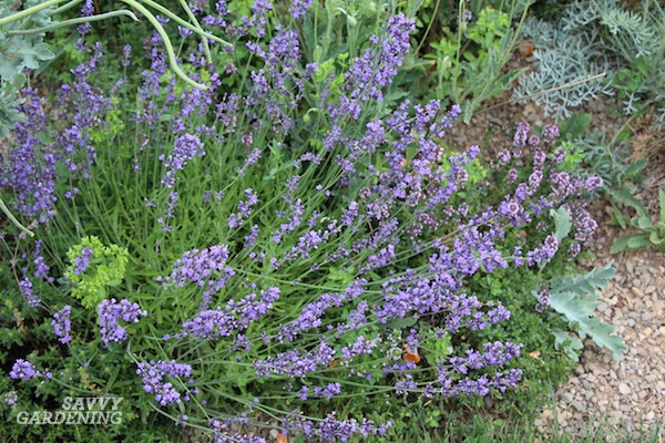 Lavender is a delightful purple-flowered perennial. Here are 24 more brilliant and bold choices.