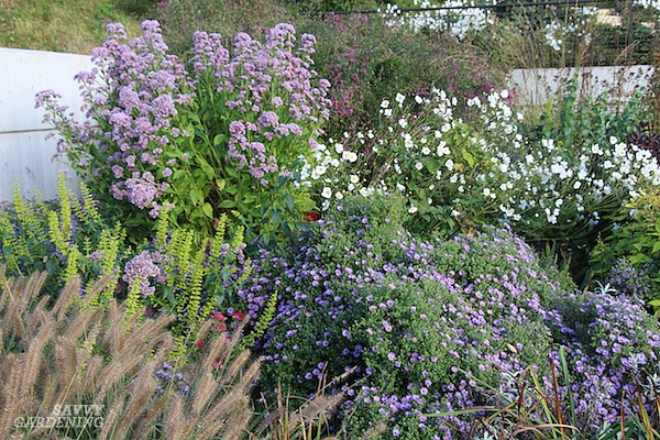 Asters are among the best late-flowering perennials available to gardeners.
