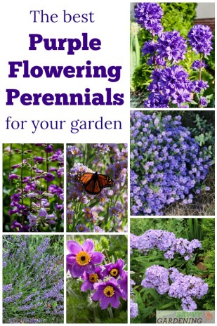 25 of the best purple perennial flowers for big and small gardens. Discover a new violet-hued favorite. #perennials #gardening