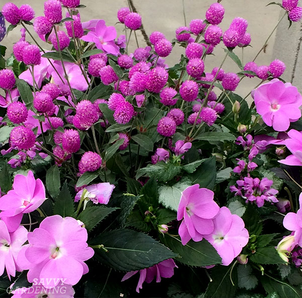 Ping Pong Lavender Gomphrena and SunPatiens Compact Orchid make really pretty container mates.
