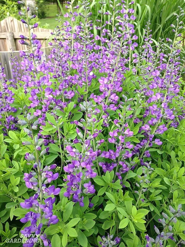 Perennials with purple blooms for your garden.