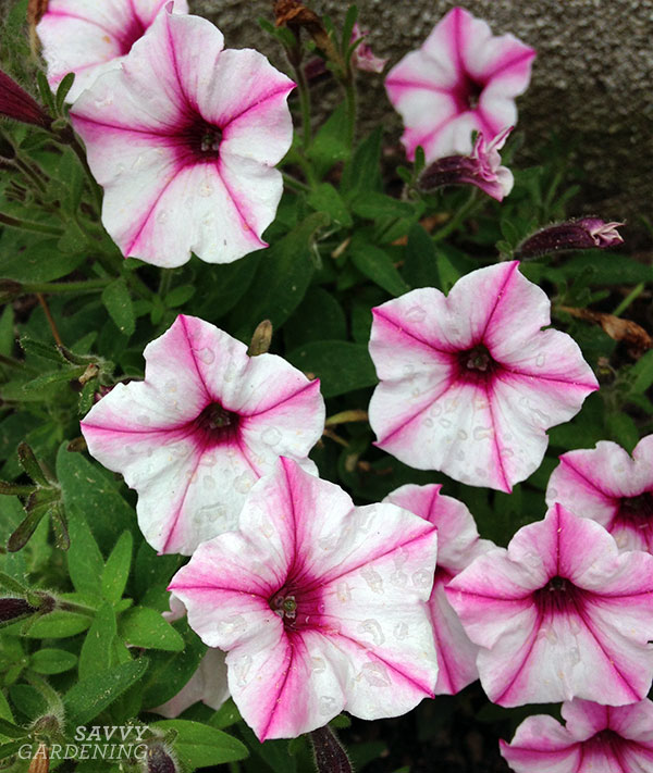 Pink Star Charm Supertunias are strong contenders for summer pots.