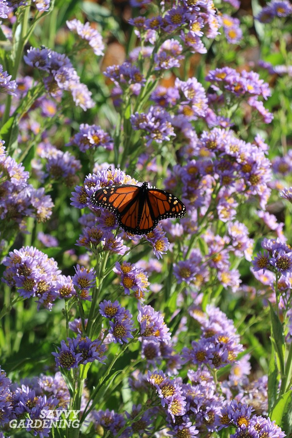Tatarian asters are among the best purple perennials for late-season blooms.