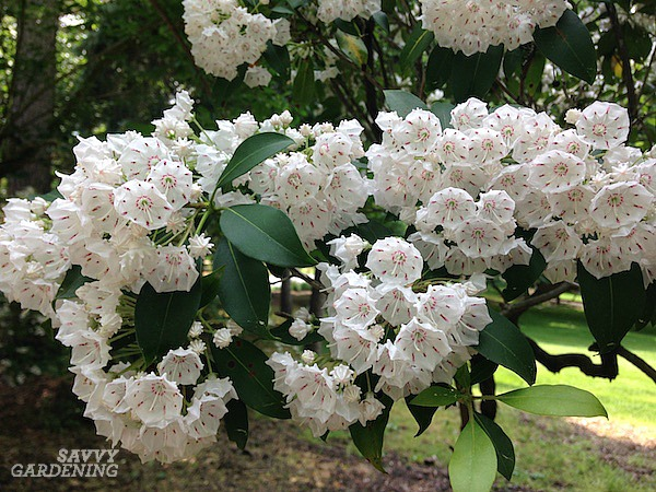 Mountain laurels are excellent shade shrubs.