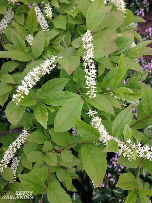 Great flowering shrubs for shade gardens.