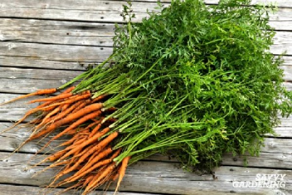 Learn how to thin carrots for the highest quality crop.