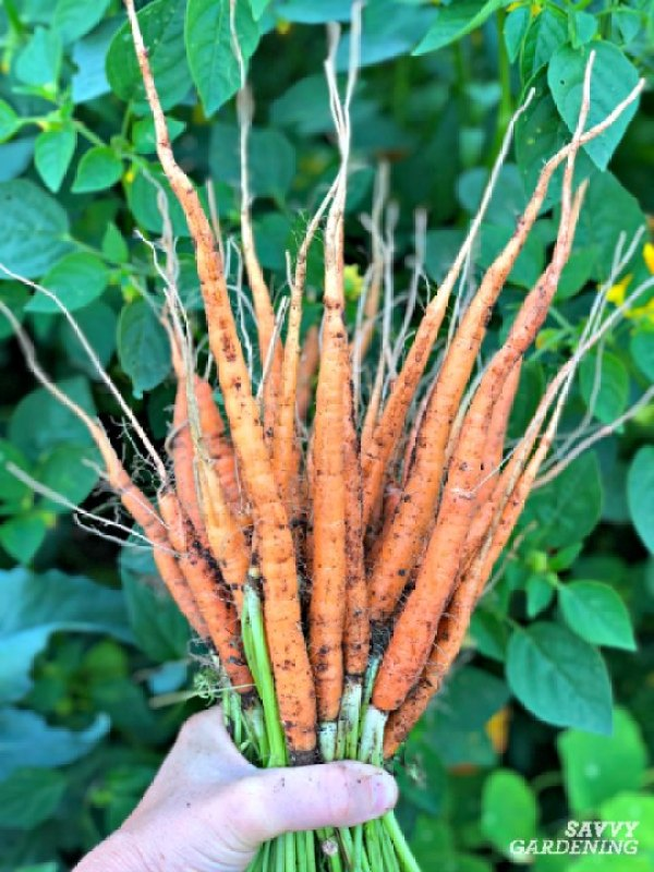 Learn how and when to thin carrot seedlings.