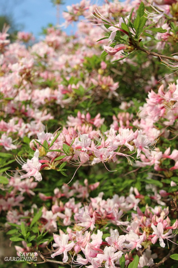 The best shrubs that flower in shade